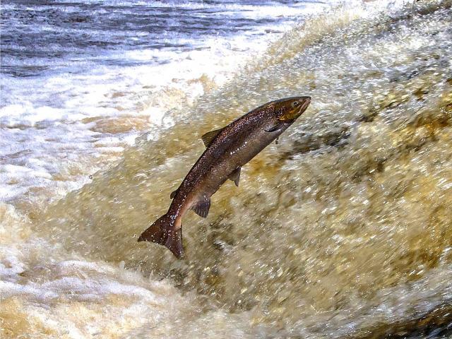Remontée du saumon