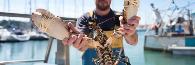 Pêche aux araignées de mer à Trébeurden