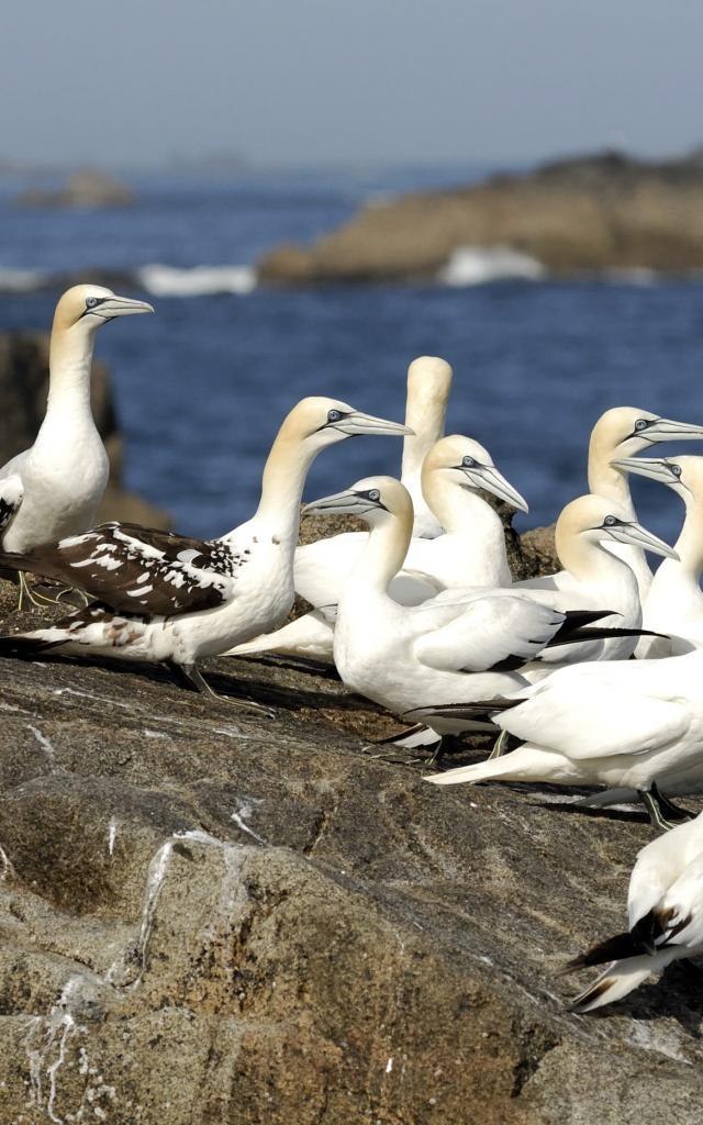 Fous de Bassan - Archipel des 7 Îles